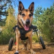 When to Put Down a Dog with Degenerative Myelopathy