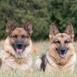 Male vs Female German Shepherd