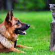 Are German Shepherds Good With Cats